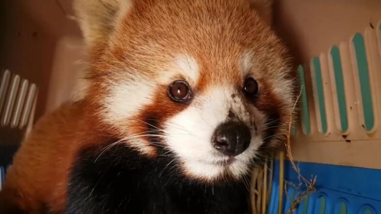 Worlds largest seizure of live red pandas conducted in Laos
