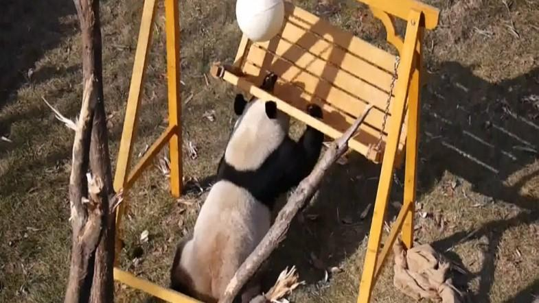 Four playful panda cubs entertain Chinese zoo visitors with their antics