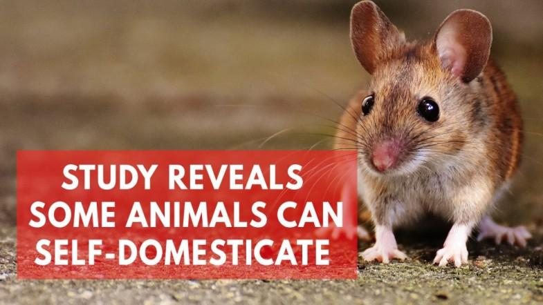 Study suggests mice can domesticate themselves without human interference