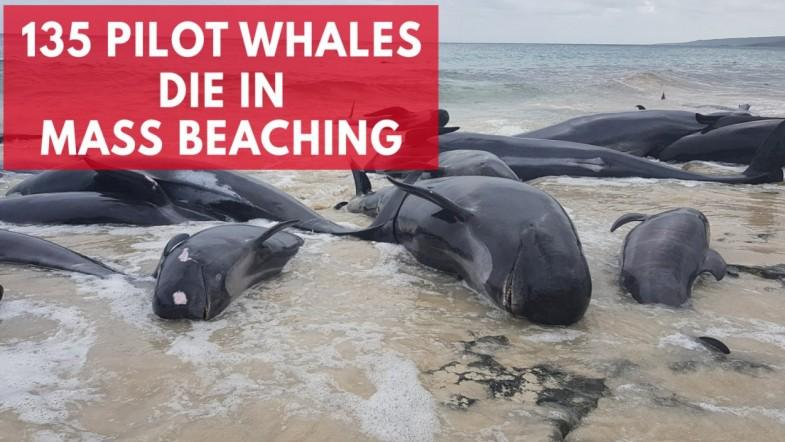 Hundreds of beached whales dead in Australia