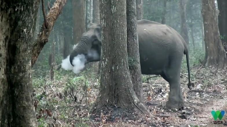 Smoke-breathing elephant stumps scientists