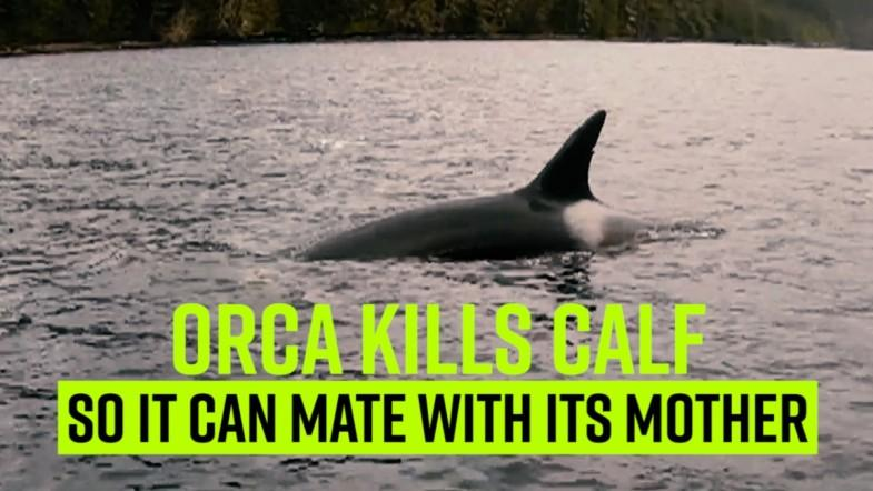 Orca kills calf so it can mate with its mother