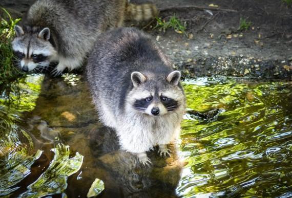 bitcoin raccoon)