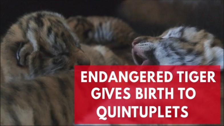 Endangered Tiger Gives Birth To Quintuplets In China