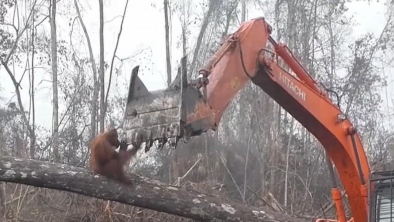 Orangutan Attacks Digger Destroying Its Home