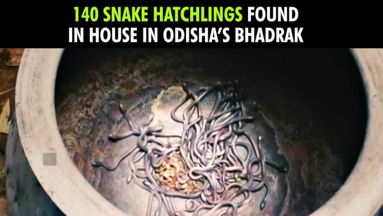 140 snake hatchlings found in house in Odisha's Bhadrak