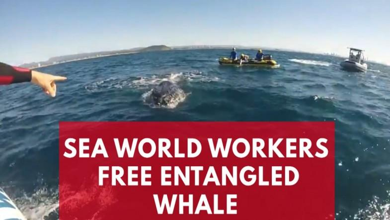 Entangled Whale Freed From Shark Net In Queensland