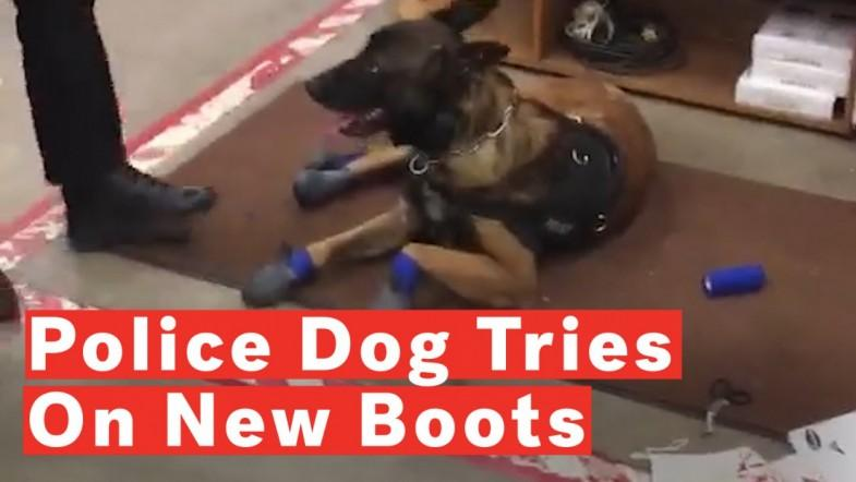 Police Dogs Funny Reaction To New Snow Boots Goes Viral