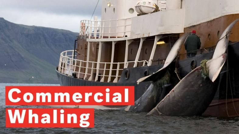 What Is Commercial Whaling?