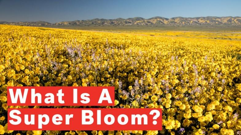 What Is A Super Bloom?