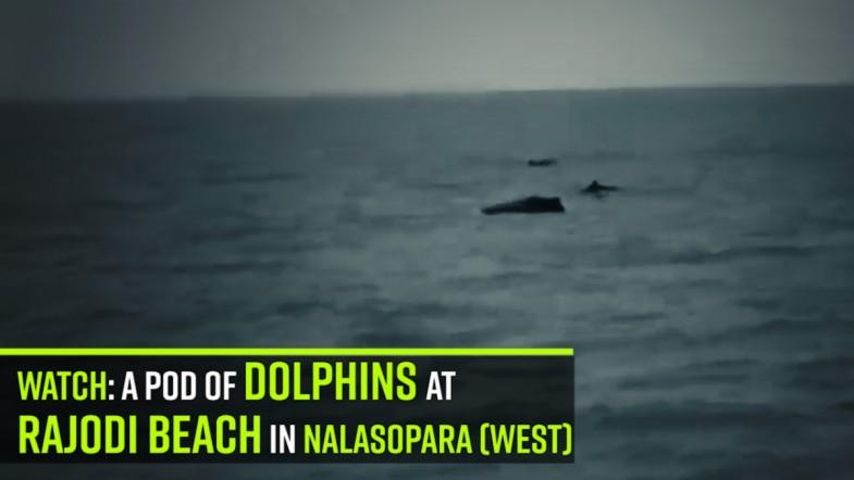 Watch: a pod of dolphins at Rajodi beach in Nalasopara (West)