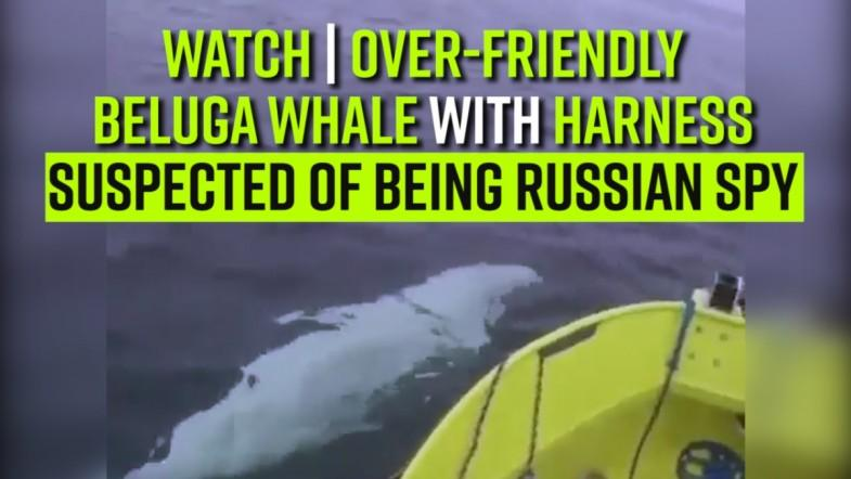 WATCH | Over-friendly Beluga whale with harness suspected of being Russian spy