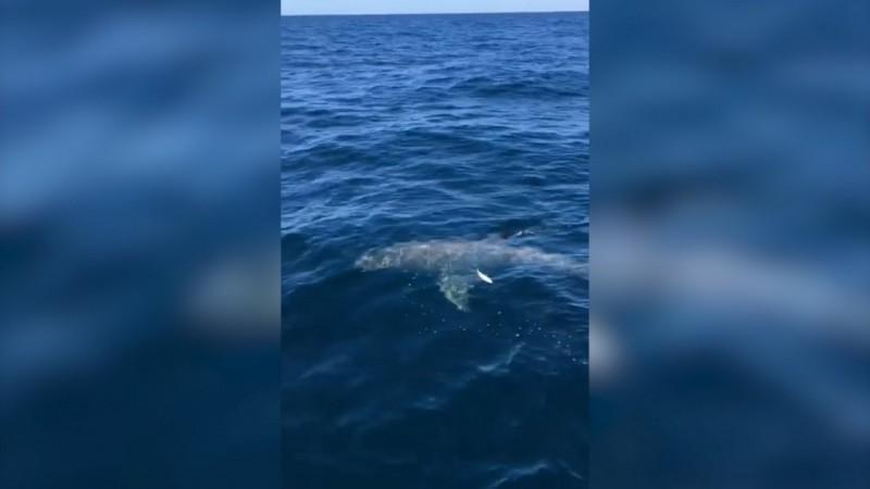 Shark australia