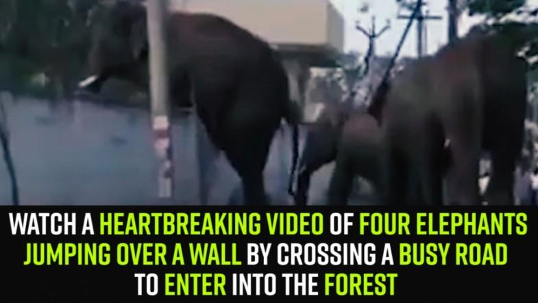 Watch A heartbreaking video of four elephants jumping over a wall by crossing a busy road  to enter into the forest