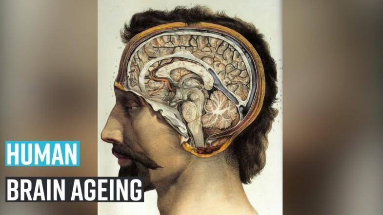 Human brain ageing