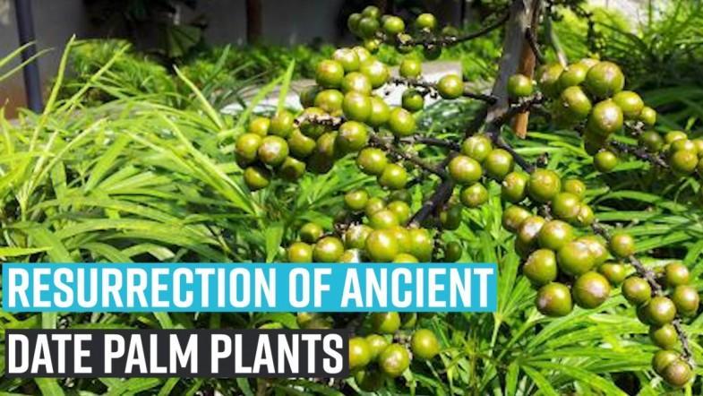 Resurrection of ancient date palm plants