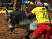 Jallikattu: The 4000-year-old ancient bull taming sport that gets your adrenaline pumping!